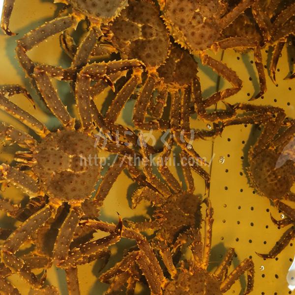 北海道釧路の市場水槽内のタラバガニ