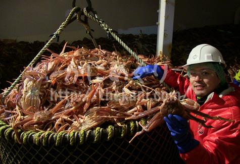 漁で獲れたズワイガニとスカイネット株式会社の社長